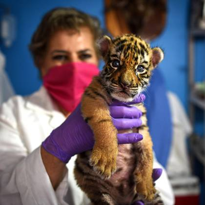 """A veterinary holds a newborn bengal tiger cub called """"Covid"""" at the Wildlife Rescue and Rehabilitation Center """"Africa Bio Zoo"""", in Cordoba, State of Veracruz, Mexico on April 05, 2020 amid the outbreak of the novel coronavirus, COVID-19. (Photo by VICTORIA RAZO / AFP)"""