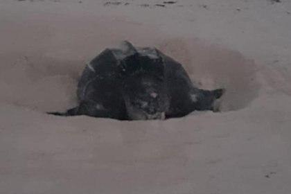 De acuerdo con la dirección municipal de Ecología, la tortuga laúd de 2,15 metros de largo y 1,4 de ancho, depositó 112 huevos frente a la playa del hotel Grand Oasis, en la zona hotelera de Cancún. (Foto: Twitter)
