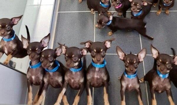 Los científicos esperan descifrar los motivos detrás del tamaño de Milly por medio de sus clones