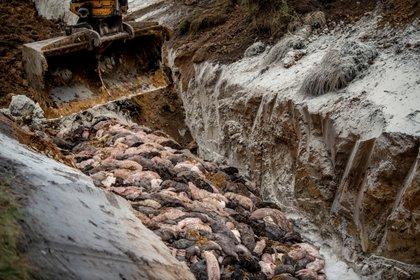 Los visones están siendo enterrados en fosas comunes ubicadas en campos militares pues no alcanzan los hornos crematorios para incinerarlos. Morten Stricker/Dagbladet Holstebro Struer/Jysk Fynske Medier/Ritzau Scanpix/via REUTERS