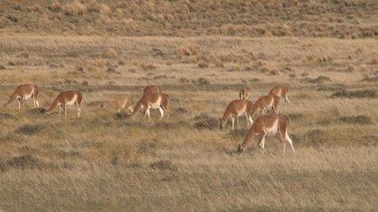 En la provincia de Santa Cruz, vive la población de guanacos más grande del mundo