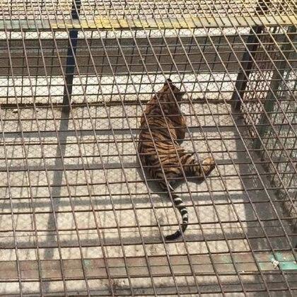 """Un tigre que será asesinado para usar sus huesos como """"medicina""""."""