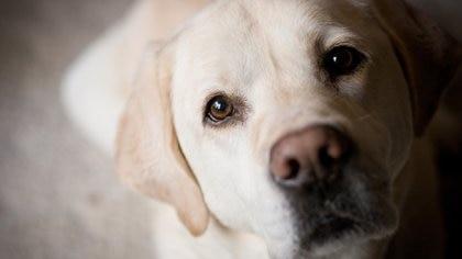 La comida no incide en las expresiones faciales de los perros (Getty Images)