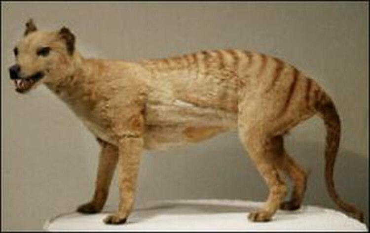 El cadáver preservado de un tigre de Tasmania, que fue declarado extinto en 1936, en el Museo Australiano.