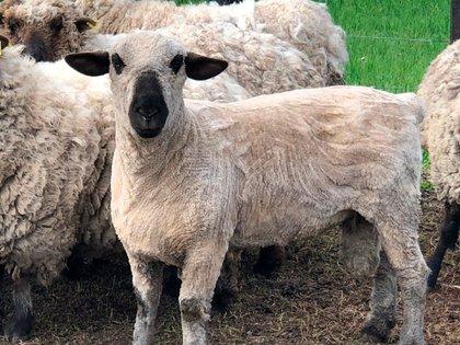 El carnero reproductor fue un regalo de uno amigo de Etchevehere por su aniversario de casado