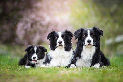 El border collie es una de las razas más solicitadas en Europa (Foto: Shutterstock)