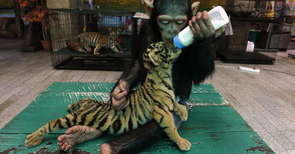 Mamá chimpancé para un pequeño tigre - Infobae
