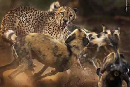 """""""Big Cat and Dog Spat"""", Peter Haygarth"""