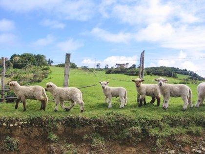 Las ovejas de Chiloé, uno de los atractivos que se ven en los paisajes