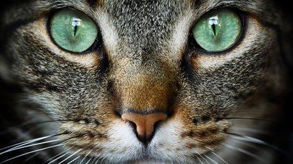 Un estudio de la revista Nature planteó la posibilidad de que fueran los egipcios los que modificaron la conducta de los gatos hasta convertirlos en animales domésticos