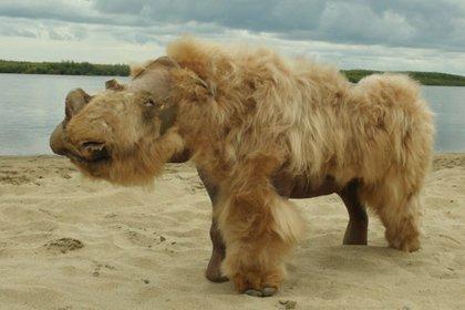 El rinoceronte lanudo se extinguió hace 14.000 años, si bien la caza de su especie por parte del ser humano disminuyó su población, lo más probable fue que el cambio climático contribuyera aún más Foto: Albert Protopopov