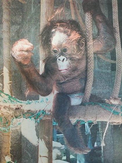 El 17 de octubre de 1999, el zoológico de Buenos Aires presentó en sociedad a Sheinbira, el bebé de 4 meses de Sandra y Rafael que se convirtió en el primer orangután nacido en cautiverio en Argentina. Algunas versiones indican que fue vendido a un zoológico de China. (Diario La Nación - Hemeroteca de la Biblioteca Nacional)