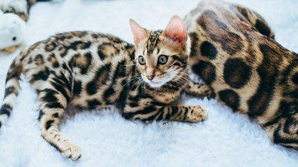 El gato bengala, fue un resultado fortuito del cruce casual entre un gato doméstico y una hembra gato leopardo (Prionailurus bengalensis)