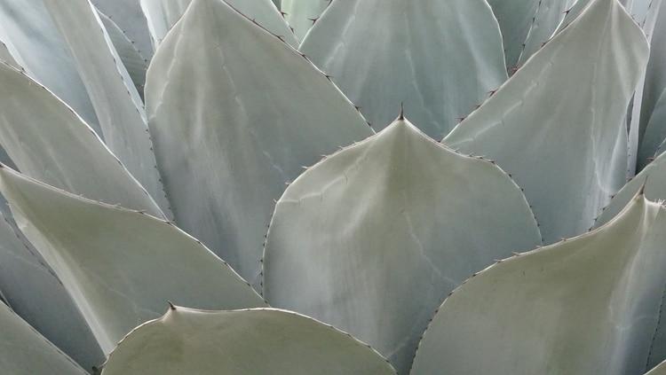 El maguey es la planta de donde sale el mezcal (Foto: Pixabay)