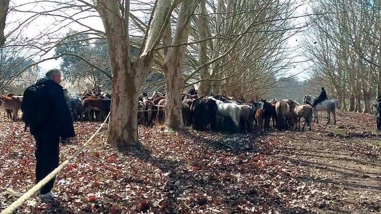 Más de 400 caballos fueron rescatados de un campo de Ezeiza