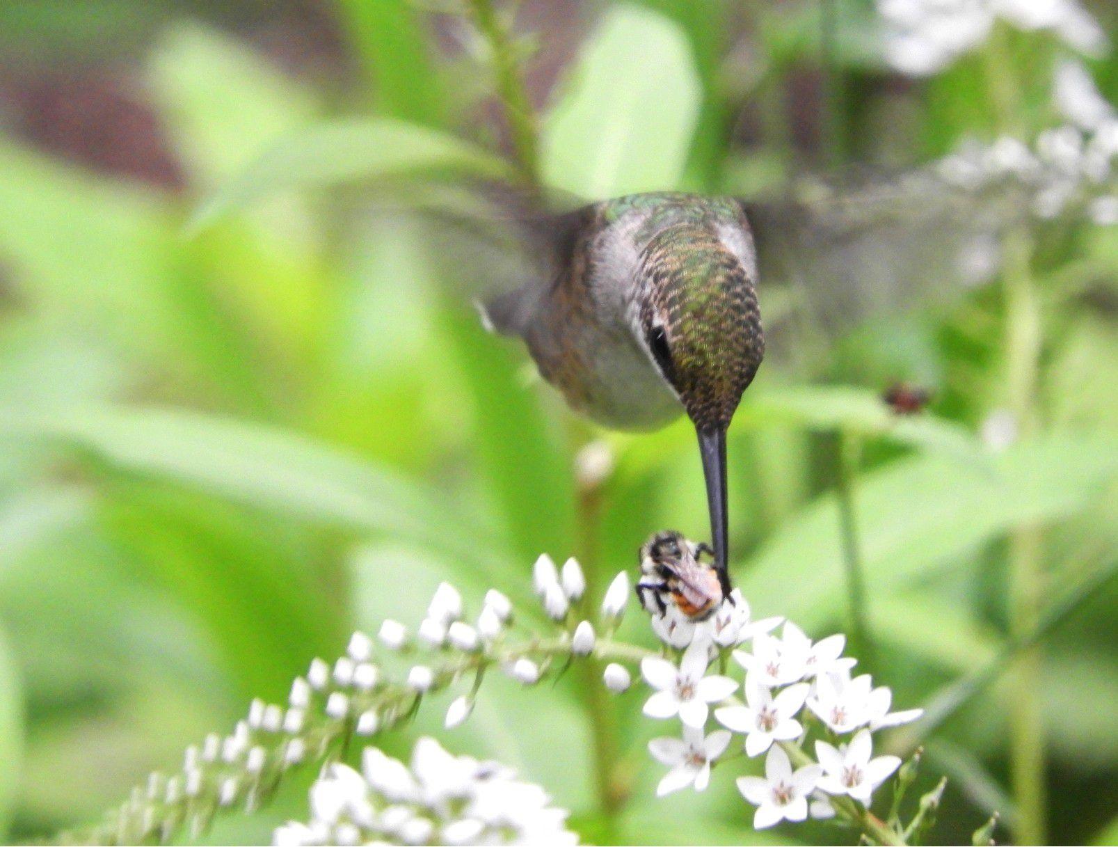 07-09-2021 Colibrí y abeja compartiendo flores. POLITICA INVESTIGACIÓN Y TECNOLOGÍA DAVID RANKIN/UCR