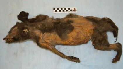 El cachorro fue descubierto en Siberia en 2011 y se encuentra en muy estado de conservación pese a tener 14.000 años Foto: (Sergei Fedorov)