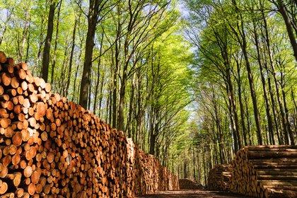 La biomasa forestal se genera a partir de residuos de los seres vivos, madera, aserrín, frutos, entre otros materiales.