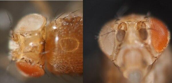 Otro mosquito editado en el laboratorio de Akbari, con diferencias en sus ojos. (akbarilab.com/UC)