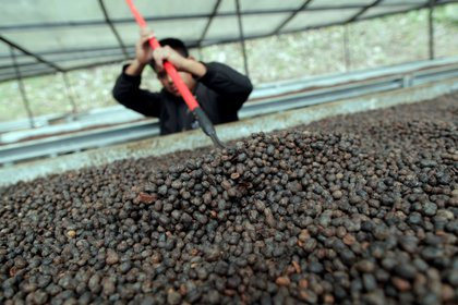 Hombre mientras remueve granos de café sobre una cama africana para su secado.EFE/Bienvenido Velasco/ Archivo
