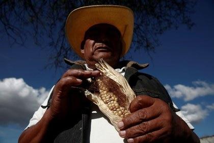 El maíz transgénico y los monocultivos son dañinos para la naturaleza y el consumo humano (Foto: REUTERS / Carlos Jasso)