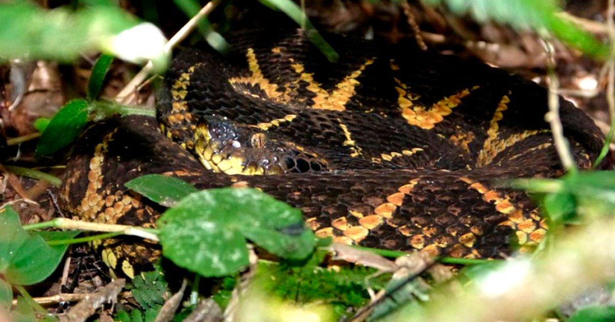 Veneno de peligrosa serpiente sudamericana impide la reproducción del COVID-19
