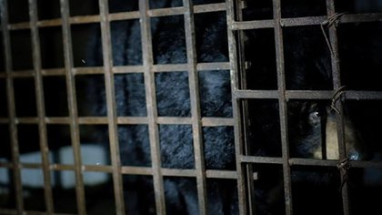 """It is believed that about 10,000 bears are bred """"Bile extraction farms"""" 1,000 people caught in illegal activities in China and Vietnam (four PAWS)"""