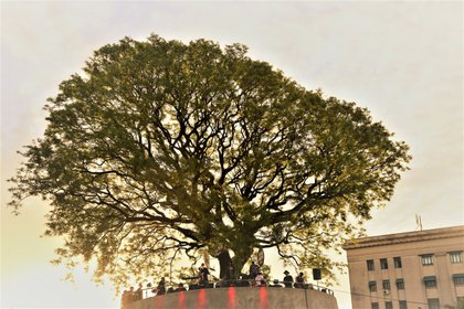 El árbol de la Plaza Brasil