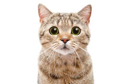 Si vemos a nuestro gato quieto en un rincón con la boca medio abierta, sabemos que está recolectando información (Shutterstock)