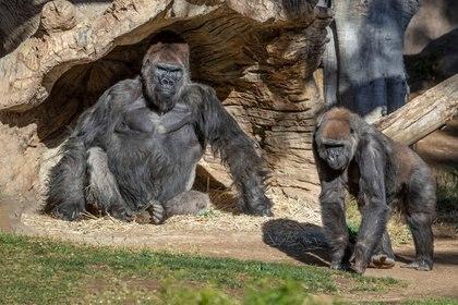 Gorilas se sientan después de que dos de sus tropas dieron positivo por COVID-19 luego de enfermarse, y un tercer gorila también parece ser sintomático, en el San Diego Zoo Safari Park en San Diego, California (KEN BOHN/SAN DIEGO ZOO GLOBAL/REUTERS)
