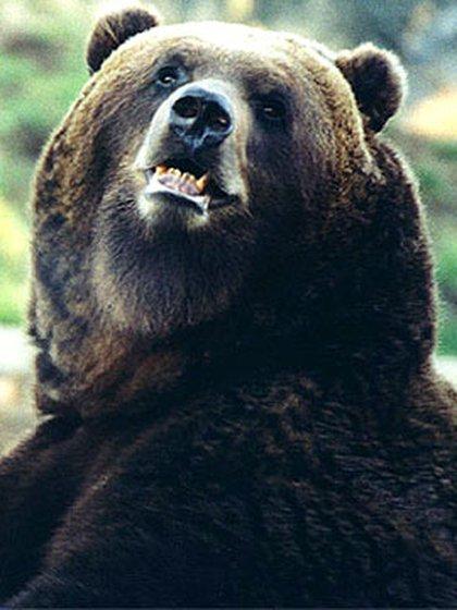 El oso fue envenenado con un líquido anticongelante. Imagen de referencia.