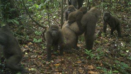 Esta imagen tomada por una cámara automático muestra un grupo de gorilas del río Cross en los montes Mbe de Nigeria, el lunes 22 de junio de 2020. Un equipo de conservacionistas logró las primeras imágenes de un grupo de gorilas del río Cross, una subespecie poco común, con varias crías en los montes Mbe de Nigeria.  (WCS Nigeria via AP)