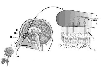 Anatomía de la mucosa olfatoria