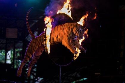 Durante décadas, animales salvajes fueron robados de la selva para tenerlos en cautiverio y hacerlos trabajar en circos. Elefantes, leones, monos y tigres de bengala son las especies más perjudicadas. (Amanda Mustard/The New York Times)