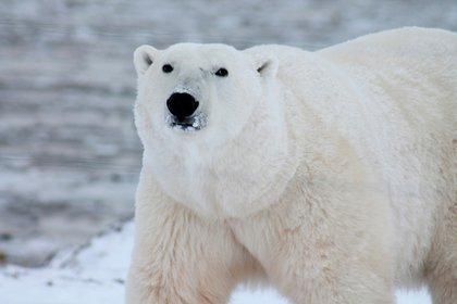 El calentamiento acelerado del Ártico atenta directamente contra la vida de estos mamíferos (Pxhere)
