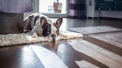 Todo lo hay que tener en cuenta para adoptar un perro viviendo en un departamento (istock)