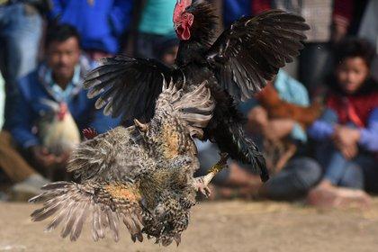 Una pelea de gallos durante el festival de Jonbeel Mela festival en el distrito de Assam, en una foto de 2017. (Biju BORO / AFP)