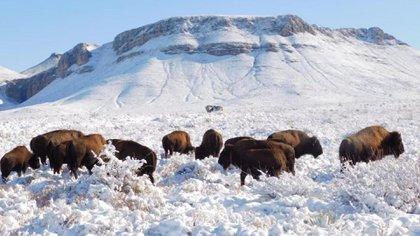La segunda manada de bisonte americano fue dada a conocer por la titular de la Semarnat (Foto: Twitter@Mary_Luisa_AG)