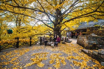 El famoso árbol de Gingko del pueblo de Shiqiao.