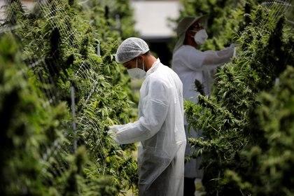 Pharmocann, trabajadores de una compañía israelí de cannabis medicinal. REUTERS/Amir Cohen     TPX IMAGES OF THE DAY