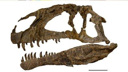 Reconstrucción esquelética y anatomía postcraneal de Asfaltovenator vialidadi. Imagen: gentileza investigador (Conicet)