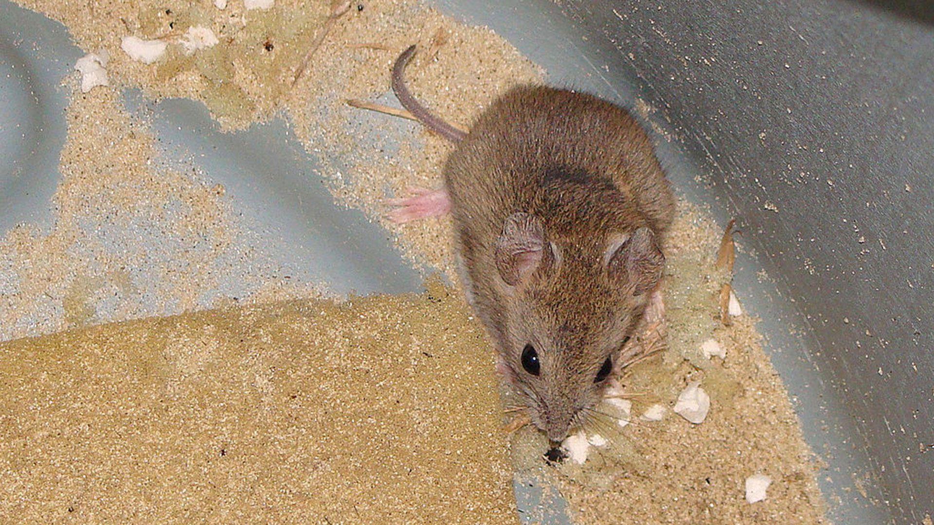 El ratón maicero parece cándido pero no los es. Es el portador del arenavirus en Bolivia y Argentina. La OPS recomienda realizar periódicamente campañas de control de roedores y usar equipos de protección para los trabajadores rurales