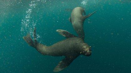 La población de lobos marinos ha ido disminuyendo a medida que crece la actividad pesquera
