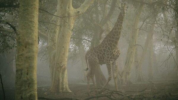 Una jirafa en medio de la niebla en la Reserva Ndumu Game, en Sudáfrica. La fotografía fue tomada por Chris Johns (National Geographic)