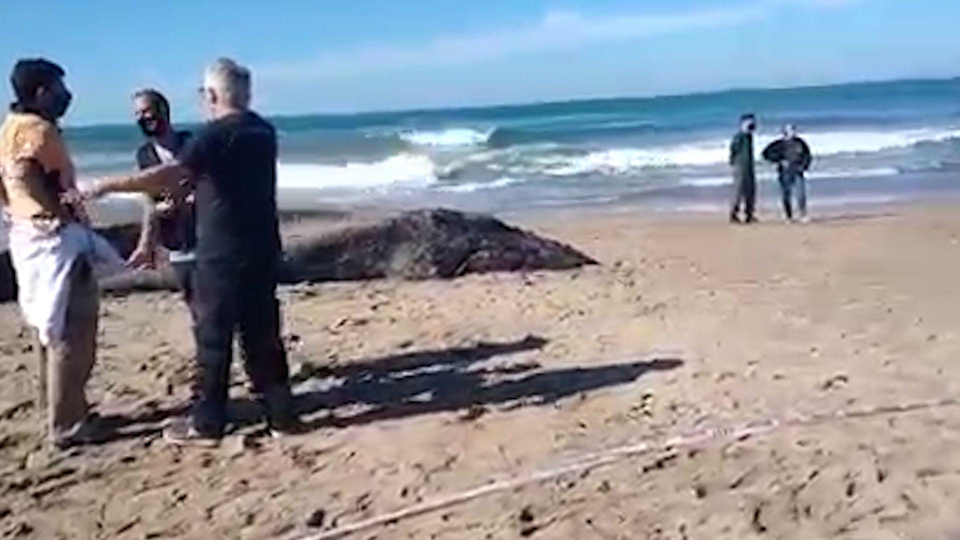 Apareció una ballena muerta en Mar del Plata