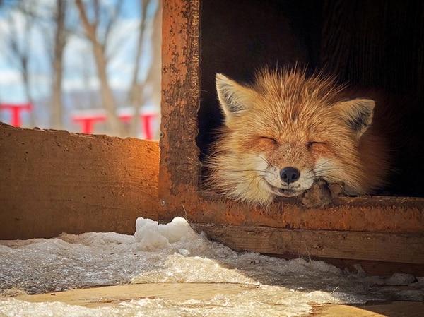"""El tercer lugar fue para Erica Wu (Taiwan) con """"Smiling Fox"""" (zorro sonriente) """"Este zorro dormía dentro de la caja y asomaba la cabeza para disfrutar del sol durante la temporada de nieve"""", destacó la autora. La foto se hizo con un iPhone X en """"el pueblo de los Zorros"""" en Zao, Japón."""