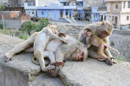 Monos macacos descansando en una pared en Jaipur City, Rajasthan, India.