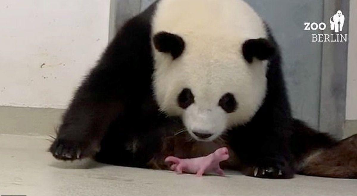 Meng Meng entregó su primer cachorro el sábado por la noche. Aproximadamente una hora después, nació un segundo bebé (Foto: Zoo Berlín)
