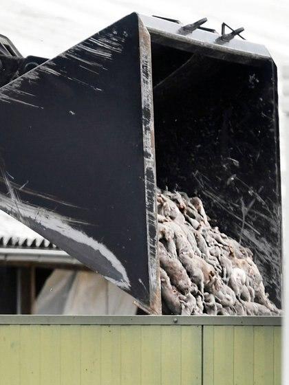 Los cuerpos de miles de visones muertos en una granja de De Mortel, Países Bajos (Reuters)