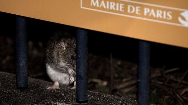 Es probable que la crecida reduzca la población de ratas en París, pero sólo en el corto plazo (AFP)